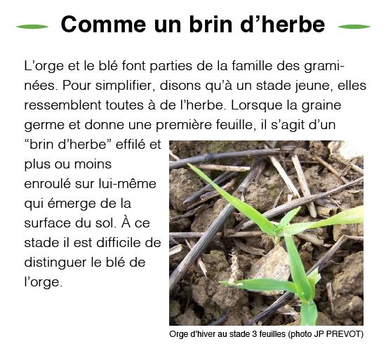 brin-herbe-orge-01