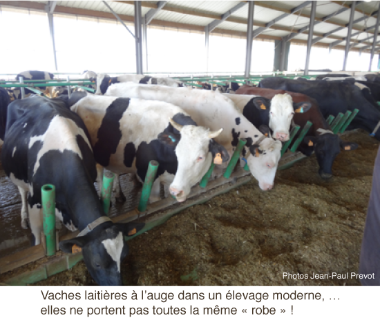 vaches-blanches-noires-03